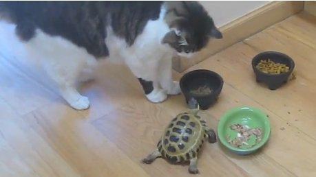videos_de_gatos_tortuga_persigue_muerde_a_los_gatos_divertidos