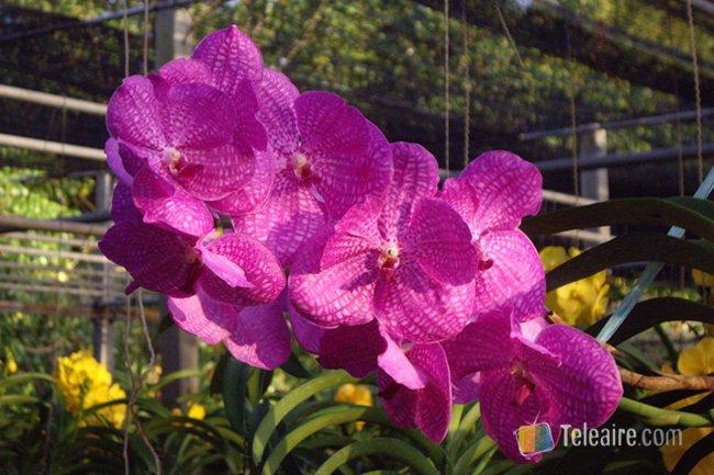 Orquídeas de Tailandia - Teleaire Multimedia 378305581a0