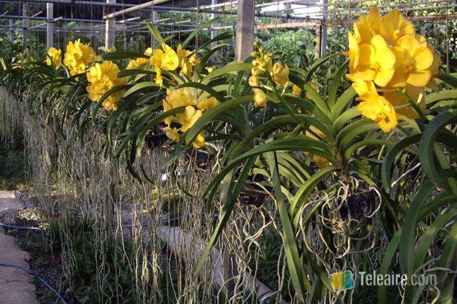 Orquideas_Tailandia