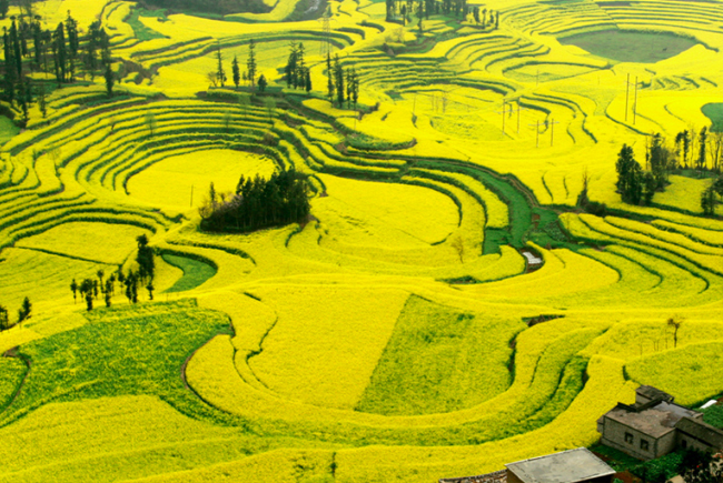 Campos-de-canola-China