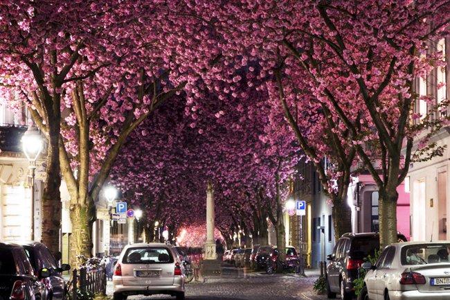 Tunel Cherry Blossom en Bonn, Alemania