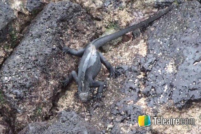 lagartija-islas-galapagos-ecuador