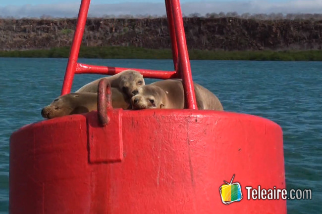 lobos-marinos-islas-galapagos-ecuador