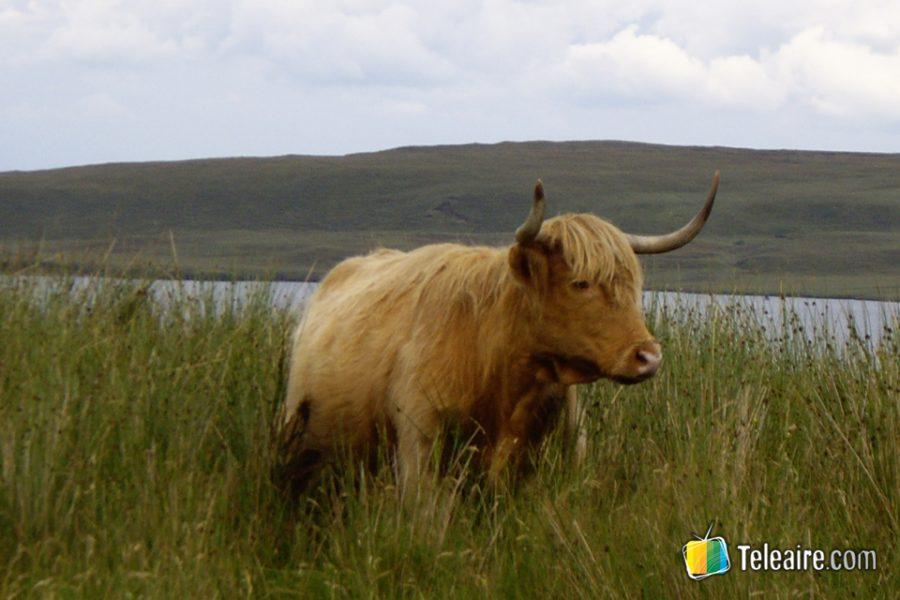 Vaca típicamemnte escocesa en la isla Skye