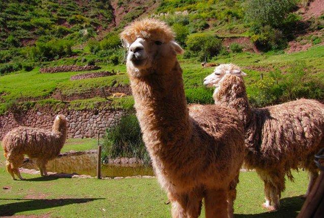 animales en las ruinas de Machu Picchu