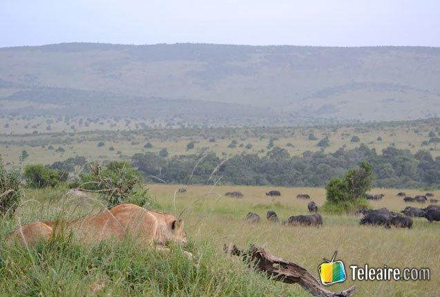 la gran migración de masai mara