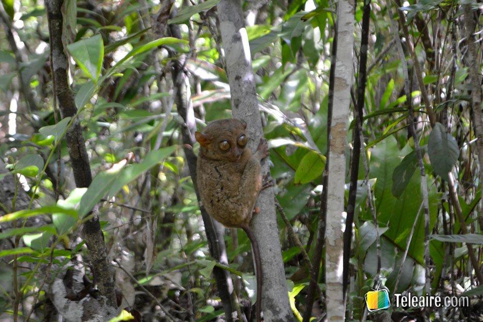 Es conocida por ser hábitat del tarsier, el mono más pequeño del mundo