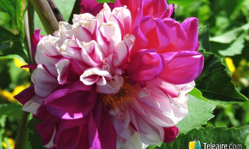 La variedad en los colores de las flores es producto del trabajo polinizador de las abejas.