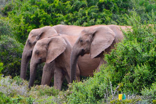 una familia de elefantes en el Parque Addo