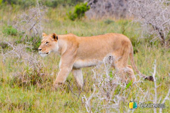 leones al acecho en parque natural, Sudáfrica