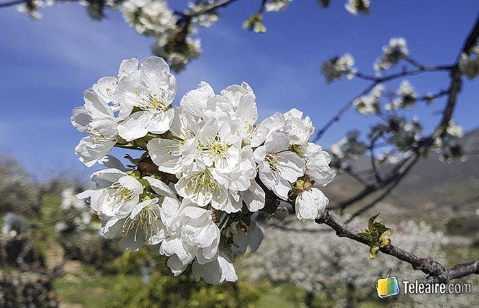 Flor de Cerezo en el Valle del Jerte en plena floración