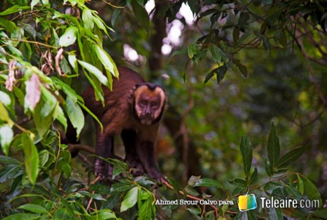 Monos en el Parque Tunari, Bolivia