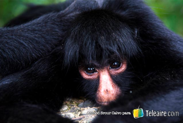 Monos en el Parque Nacional Tunari, cerca de Cochabamba, Bolivia